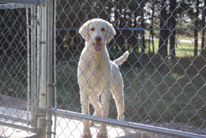 Bonnieview Kennels, Golden Retrievers, Mount Forest, Ontario, Canada